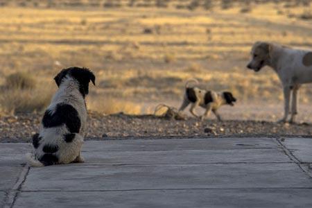 Cattura di cani randagi