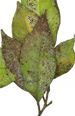 Effetto dell'insetto sulle foglie delle piante